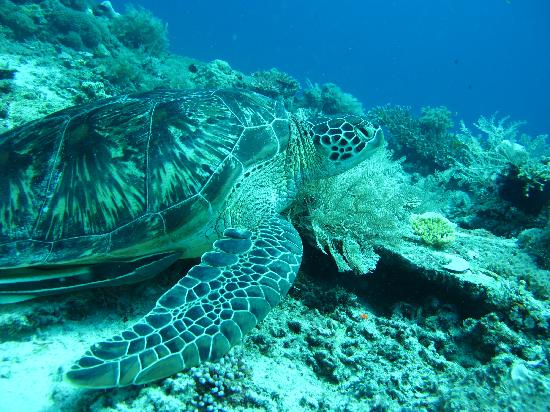 Senggigi, Ινδονησία: Turtle off Gili Trawangan