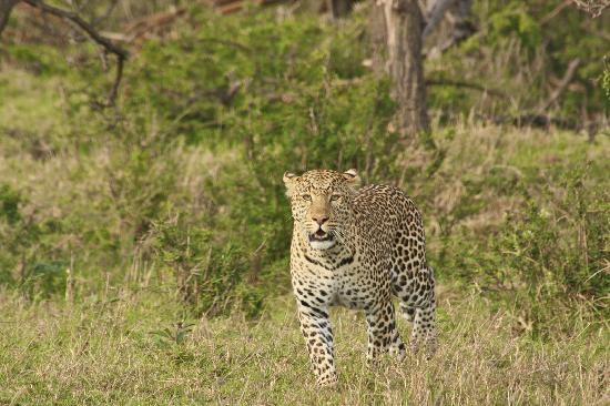 Porini Rhino Camp: Leopard at Porini Lion