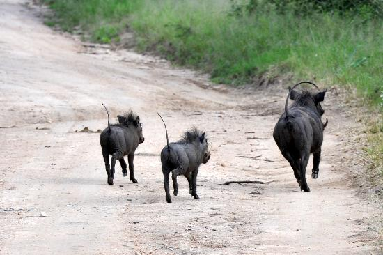 Kapama River Lodge: warthog family