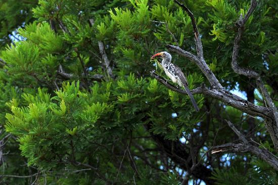 Kapama River Lodge: red billed hornbill