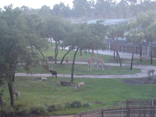 Disney's Animal Kingdom Lodge : View of animals from room