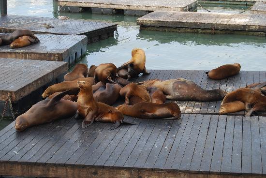 Fisherman's Wharf: Seals at Fishermans
