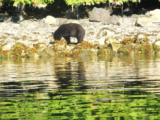 Water's Edge Shoreside Suites: bear looking for dinner