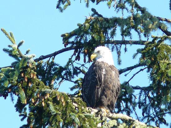 Archipelago Wildlife Cruises: Bald Eagle