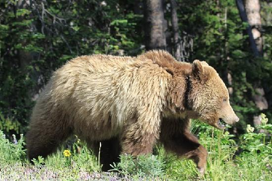 BrushBuck Wildlife Tours: A grizzly sow feeds on grass in Yellowstone......