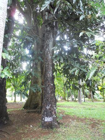 SSR Botanic Garden: Albero di sangue