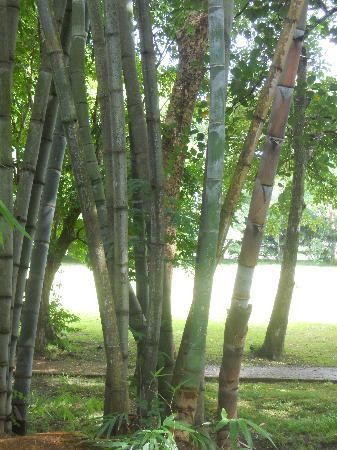 SSR Botanic Garden: Bambu