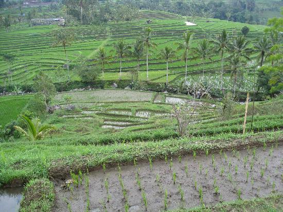 Atlantis International Bali: Rizières de Jatiluwih