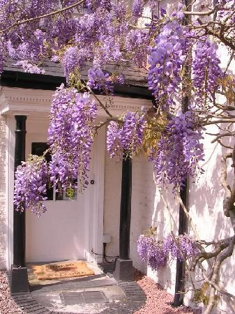 Plas Efenechtyd Cottage B&B: Wisteria in May