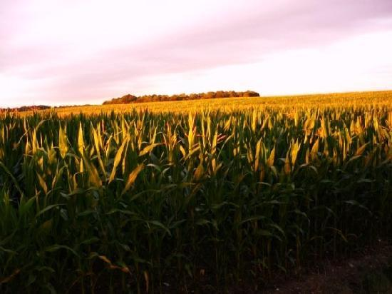 Les Limornieres: View East across maize to the woods