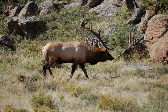 Trail Ridge Road: Elk