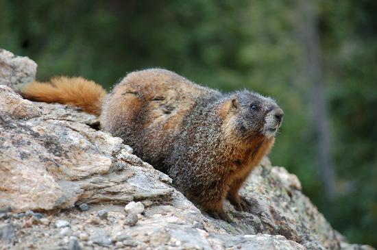 Trail Ridge Road: marmot