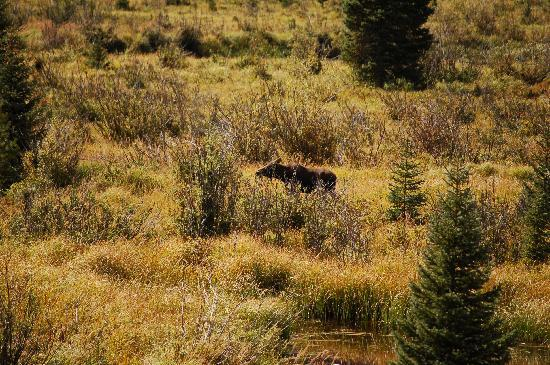 Trail Ridge Road: Moose near Grand Lake