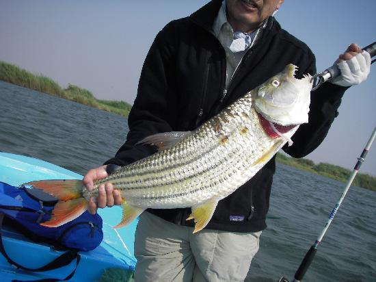 Shackletons: 7 kg tigerfish