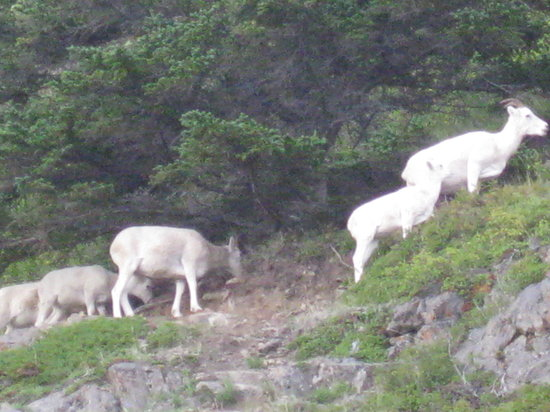 Alaska's Finest Tours & Cruises - Tours: Dahl sheep