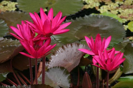 Rainforest Inn: Pond Flowers