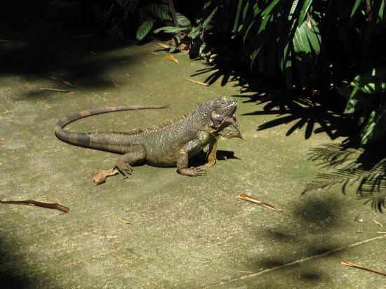 Alajuela, Costa Rica: Iguana
