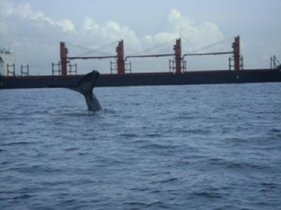 Whale Watching Panama: Panama Whale of a Tail!