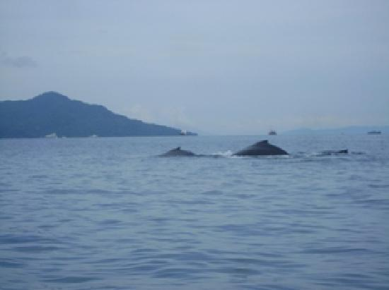 Whale Watching Panama: Panama Whale Watching - Life Is Great!