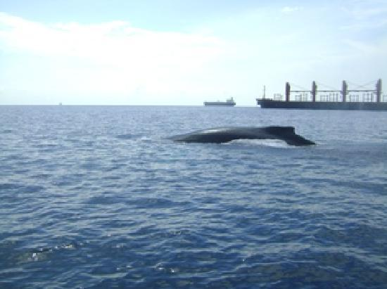 Whale Watching Panama: Panama Whale Watching - Up Close & Personal!