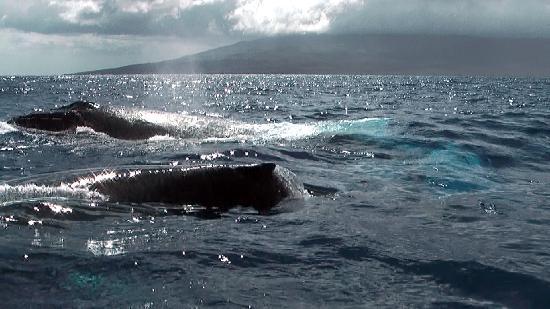 Hawaii Ocean Rafting: Humpbacks pass the boat