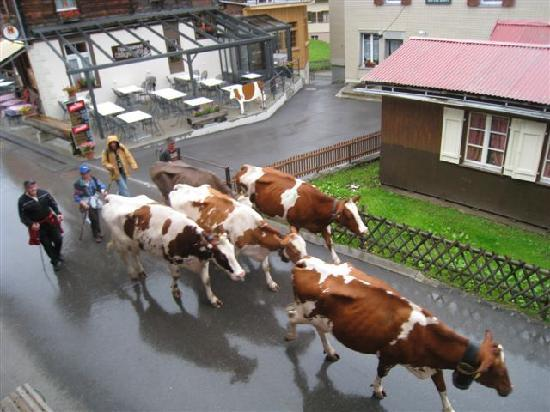 Chalet Fontana: Cows parading down the main street... common occurance