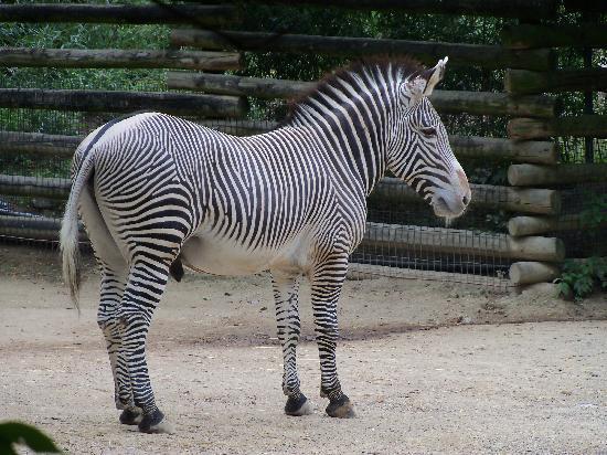 Cincinnati Zoo & Botanical Garden: Zebra