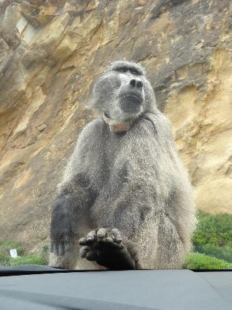 Cape of Good Hope: Baboon Sitting on our hood