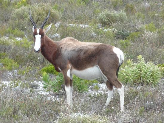 Cape of Good Hope: Springbok