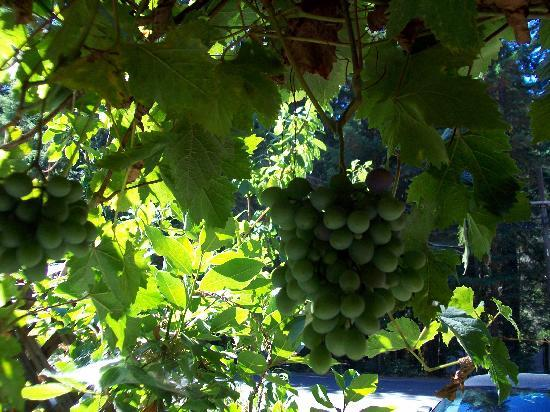 Elim Grove Cottages: Grapevines hanging over our front door!  Unfortunately, they weren't ripe yet.
