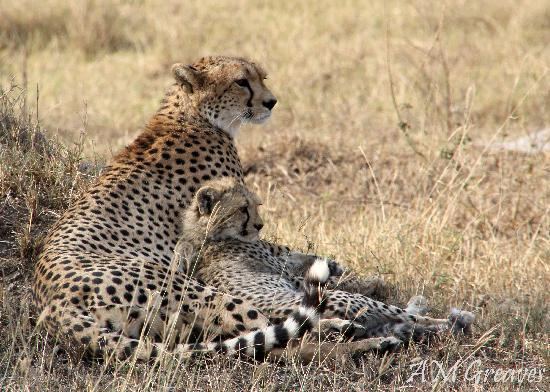 Serengeti National Park, แทนซาเนีย: Duma (Cheetah)