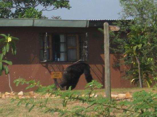 Ngamba Island Chimpanzee Sanctuary: look who escaped....