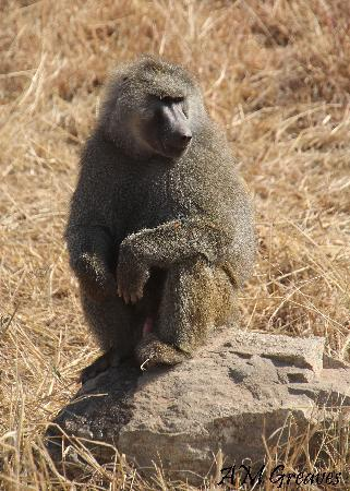 Ngorongoro Conservation Area, แทนซาเนีย: Nyani (Baboon)