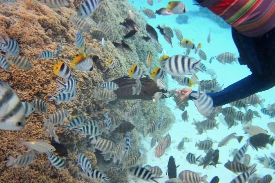 Pure Snorkeling by Reef Discovery: Christophe baiting Moray Eel