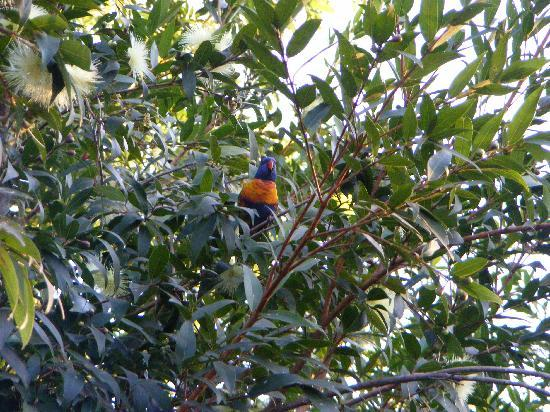 Mount Surprise, Australia: Birdlife in the park