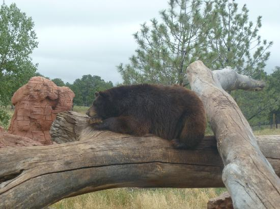 Bear Country USA: resting