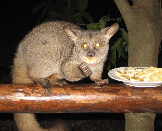 Isinkwe Backpackers Bushcamp: Bushbaby
