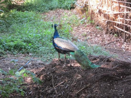 เจ็ทวิงวิลอูยานา: 野生の孔雀