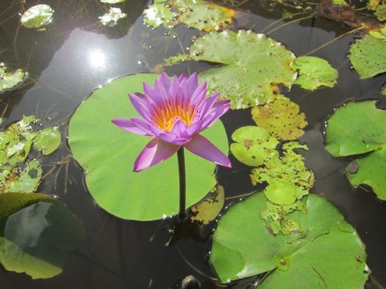เจ็ทวิงวิลอูยานา: 敷地内に咲くスリランカ国花のブルーロータス