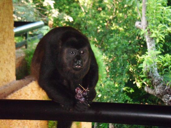 Iberostar Tucan Hotel: monkey on our balcony