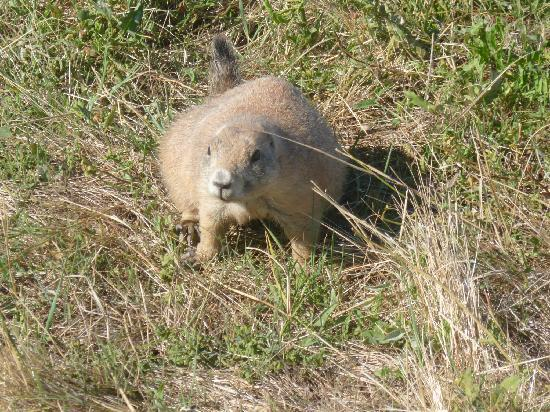 Badlands Wall: prarie dog