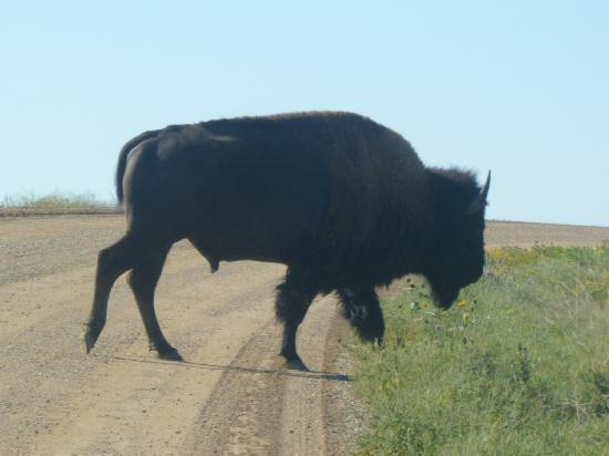 Badlands Wall: bison