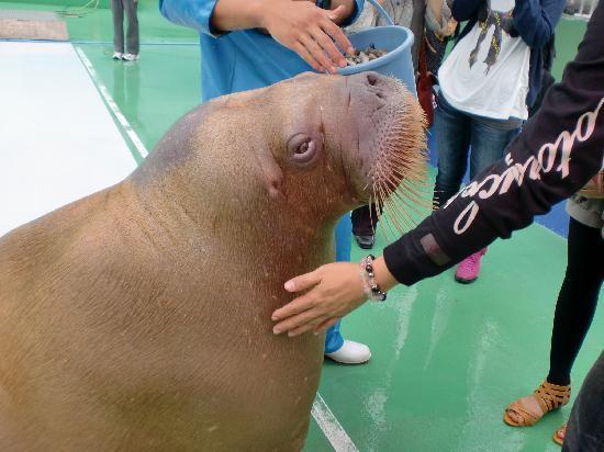 Ise Sea Paradise (Ise Meotoiwa Interactive Aquarium): セイウチ