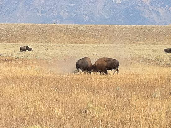 Wildlife Expeditions of Teton Science Schools: Tussling Bison