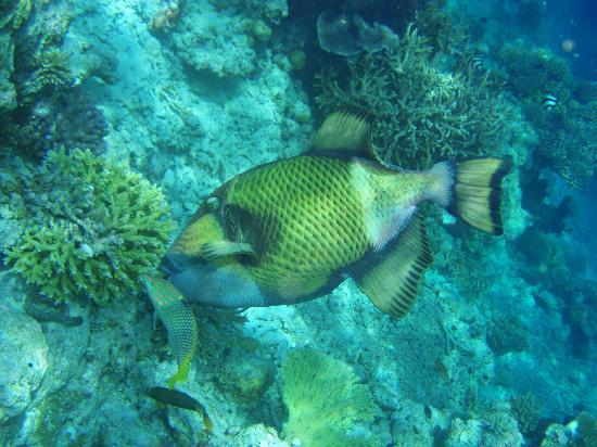 บิยาดู ไอแลนด์ รีสอร์ท: very large trigger fish