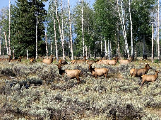 Triangle X Ranch: Elk In The Cottonwoods/Aspen