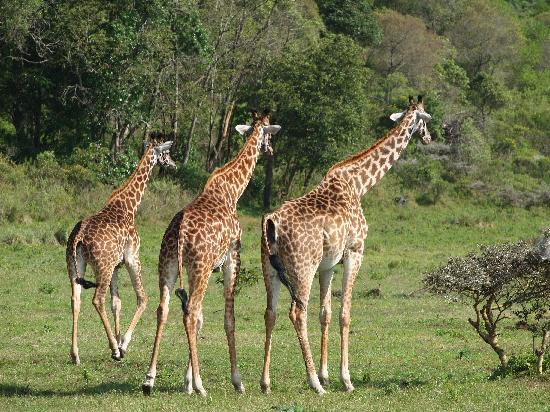 Hatari Lodge: Giraffen im Arusha Nationalpark ein paar Meter von Hatari entfernt