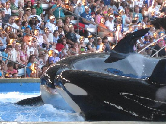 Holiday Inn Club Vacations Cape Canaveral Beach Resort: One Ocean Shamu show at Sea World
