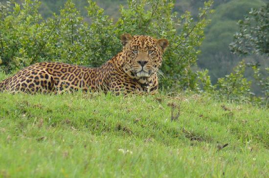 The Ark: leopardo en aberdares