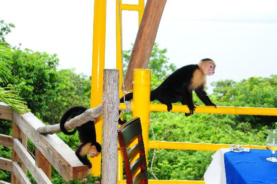 Issimo Suites Boutique Hotel and Spa: White face monkeys hanging around our pool area